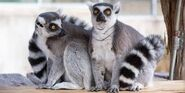 Male and Female Ring-Tailed Lemurs