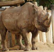 Rhinoceros, South-Central Black