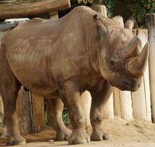 Rhinoceros, South-Central Black.jpg