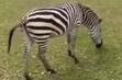 Tampa Safari Zebra