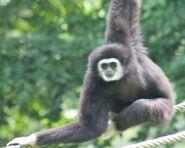 A male lar gibbon