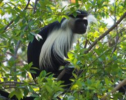 Angolan Colobus.jpg