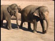 B&F Asian Elephants