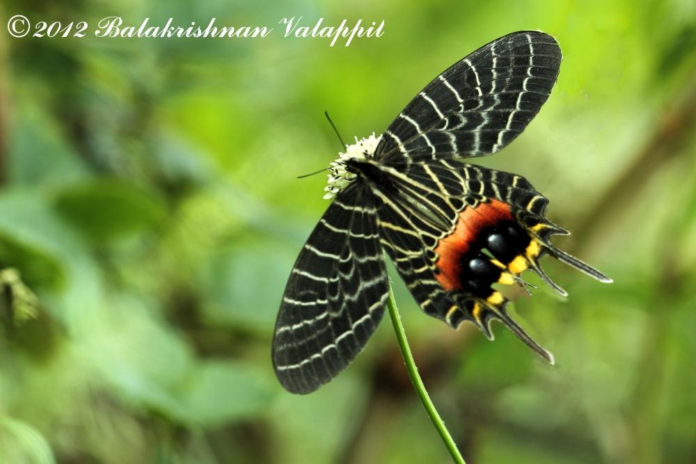 Bhutan Glory Butterfly