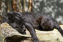 Black jaguar 3 by tigerlover4-d8vqslt.jpg