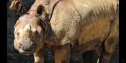 Cincinnati Zoo Indian Rhino