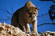 Cougar (V2)