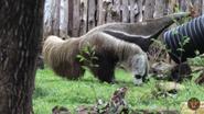 Dallas Zoo Anteater