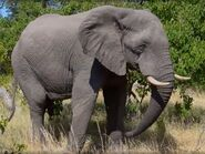 Elephant, African
