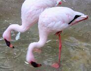 Flamingo oregon zoo