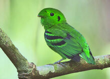 Green broadbill m01obi.jpg