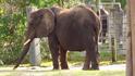 Jacksonville Zoo Elephant (V2)