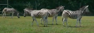Nashville Zoo Burchelle's Zebras