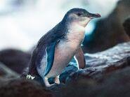 Penguin, Little (V2)