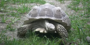 RWPZ Spurred Tortoise