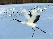Red-crowned-crane-from-Hokkaido-03
