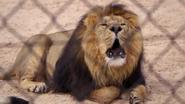TSLoTZ Lion