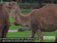 Werribee Open Range Zoo Dromedary Camel
