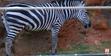 Zoo Anlanta Zebra