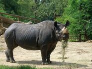 33 Year Old Black Rhinoceros