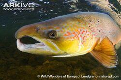 Atlantic-salmon-male.jpg