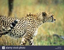 East-african-cheetah-acinonyx-jubatus-raineyii-side-view-AWKW6D.jpg