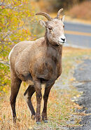 Female-bighorn-sheep-standing-road-17996661