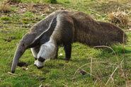 Female Giant Anteater
