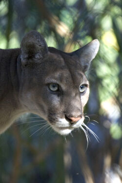 Florida Panther.jpg