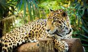 Goldman's Jaguar.jpg