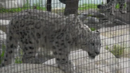 LA Zoo Snow Leopard