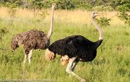 Male and female Southern Ostriches