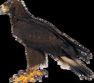 NatureRules1 Golden Eagle