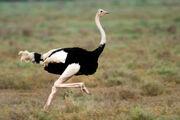 Ostrich, Masai.jpg