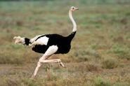 Ostrich, Masai