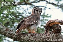 Side-profile-of-giant-eagle-owl.jpg