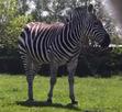 Toledo Zoo Zebra V2