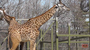 Toronto Zoo Giraffe V2