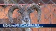 Utica Zoo Urial