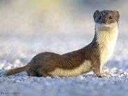 Weasel, Least