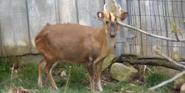 Akron Zoo Barking Deer