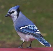Blue Jay (V2)