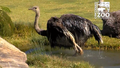 Cincinnati Zoo Ostrich