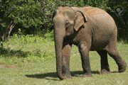 Elephant, Sri Lankan.jpg