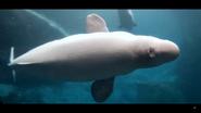 Georgia Aquarium Beluga (V2)