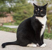 Bicolored Cat