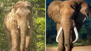 Indian Elephants vs African Elephants