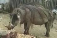Indianapolis Zoo Warthog