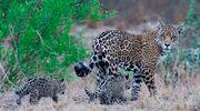 Jaguar-with-cubs Credit Daniel-Alarcon PTU.jpg