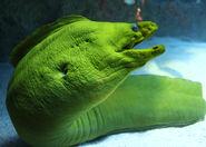 Moray Eel, Green